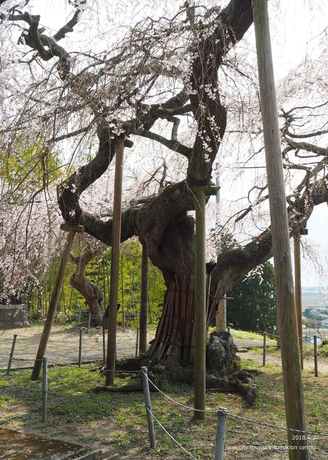 《いわき市桜情報》住善寺のシダレザクラが満開です! [平成30年4月2日(月)更新]6