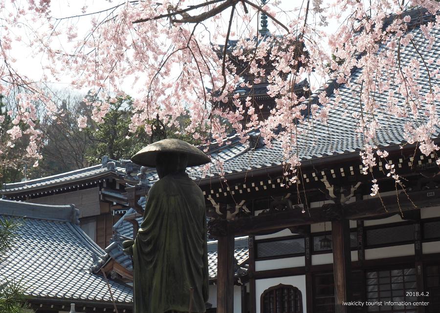 《いわき市桜情報》勝行院のシダレザクラ [平成30年4月2日(月)更新] 4