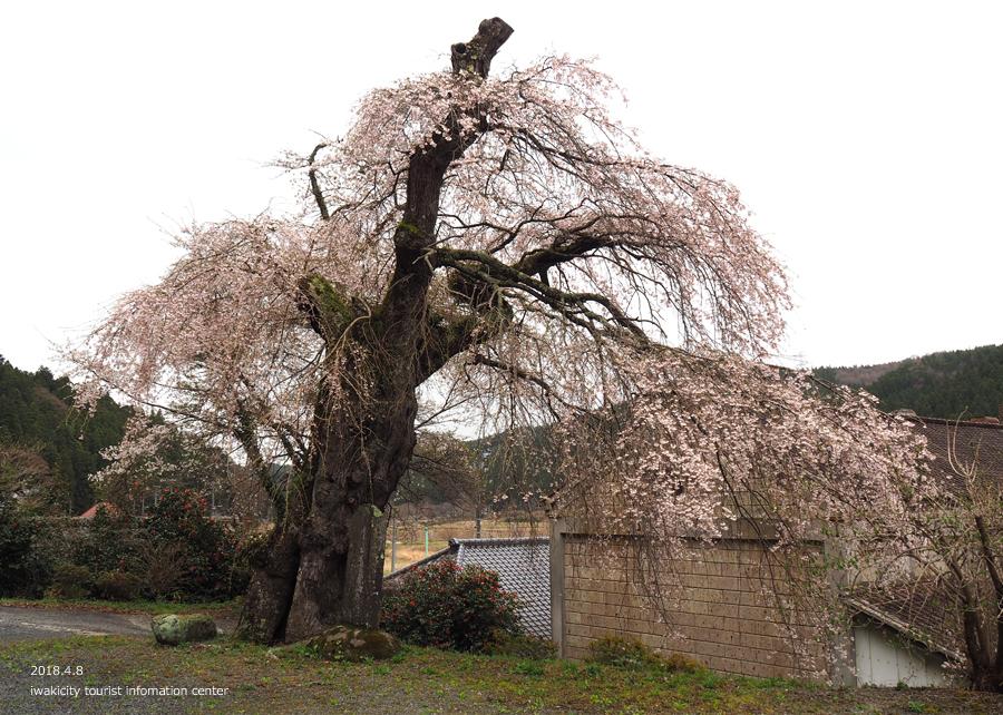 《いわき市桜情報》観音寺のシダレザクラ [平成30年4月8日(日)更新]6