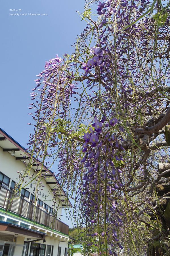 《いわき市花情報》四倉町商工会のフジが開花しました! [平成30年4月20日(水)更新]6