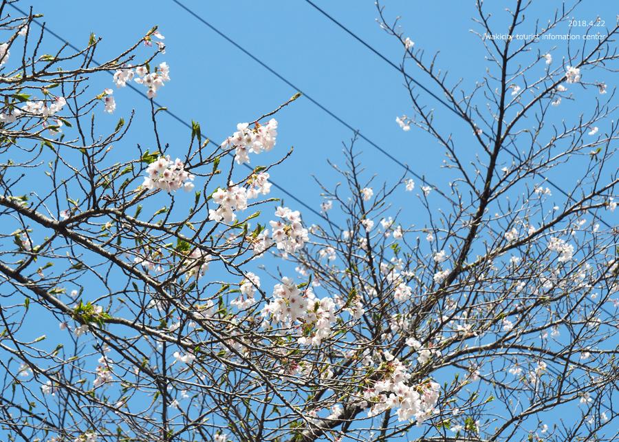 《いわき市桜情報》いわきの里鬼ヶ城の桜 [平成30年4月22日(日)更新]6