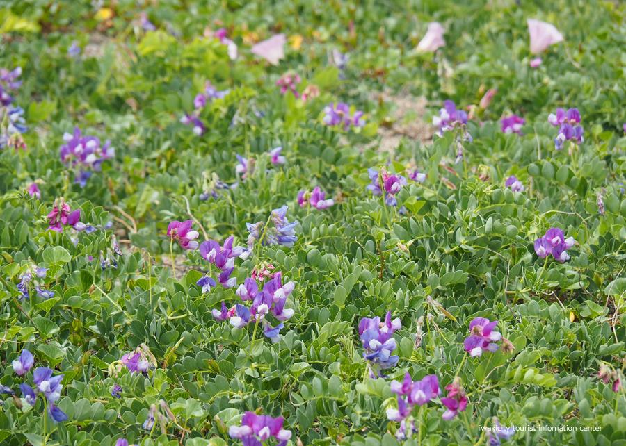 《いわき市花情報》久之浜海岸でハマエンドウ・ハマヒルガオが開花しました♪ [平成30年5月9日(水)更新]3