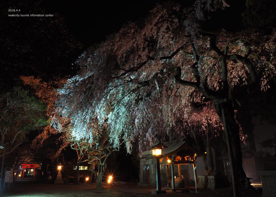《いわき市桜情報》三島八幡神社のシダレザクラ ライトアップ開催中! [平成30年4月4日(水)更新]6