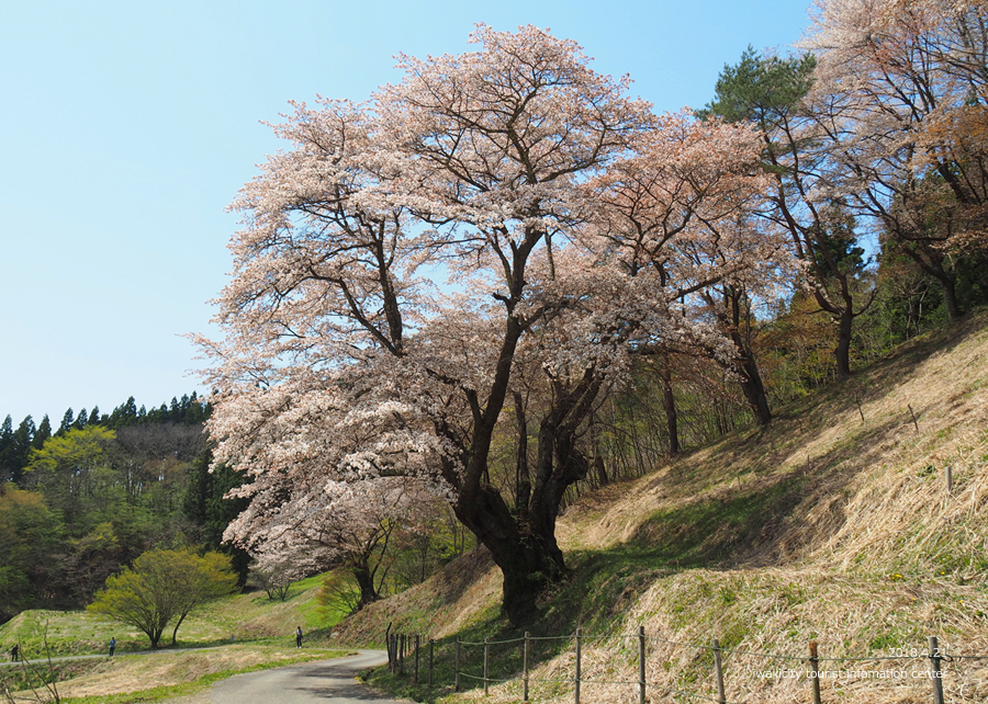 《いわき市桜情報》新田の大山桜が満開です!! [平成30年4月22日(日)更新]6
