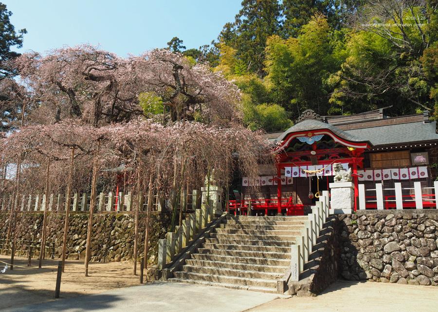 《いわき市桜情報》小川諏訪神社のシダレザクラ 開花しました! [平成30年3月28日(水)更新]7