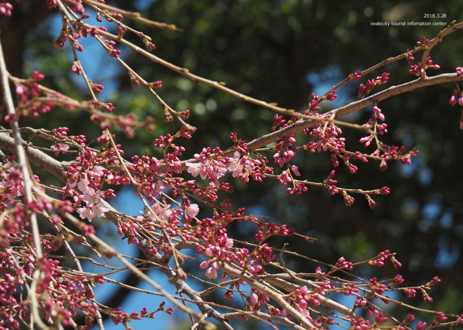 《いわき市桜情報》三島八幡神社のシダレザクラ 咲き始めています! [平成30年3月28日(水)更新]8