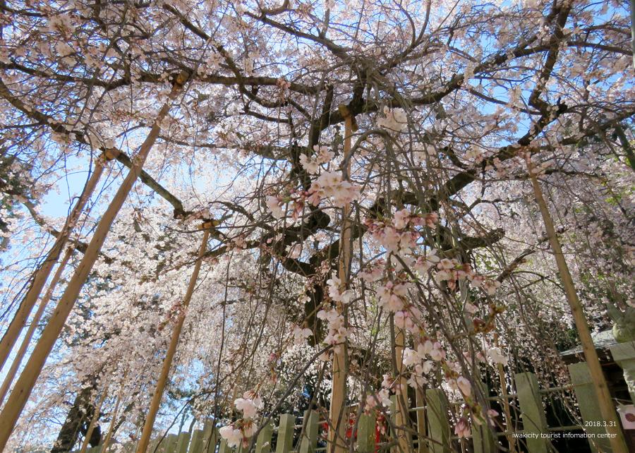 《いわき市桜情報》小川諏訪神社のシダレザクラ 見頃です♪ [平成30年3月31日(土)更新]7