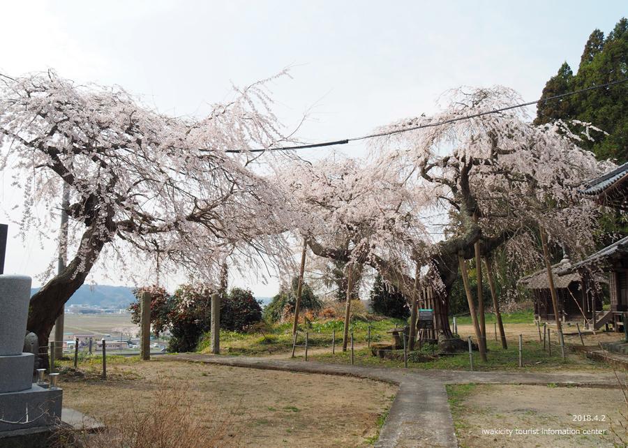 《いわき市桜情報》住善寺のシダレザクラが満開です! [平成30年4月2日(月)更新]7
