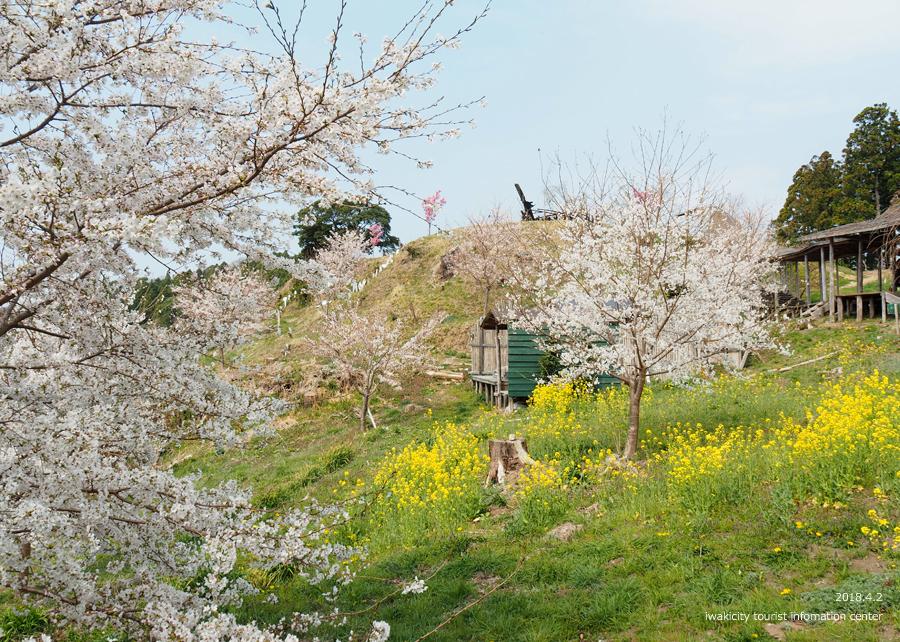 《いわき市桜情報》いわき回廊美術館の桜と菜の花 [平成30年4月2日(月)更新] 7