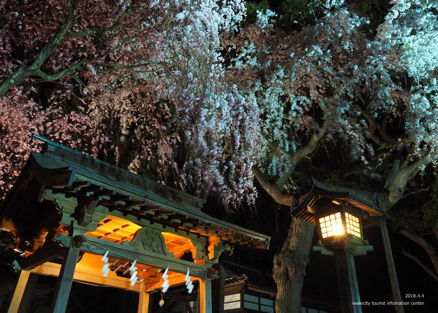 《いわき市桜情報》三島八幡神社のシダレザクラ ライトアップ開催中! [平成30年4月4日(水)更新]7
