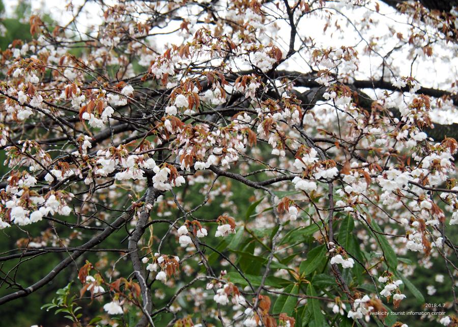 《いわき市桜情報》田人の石割桜がほぼ見頃です!! [平成30年4月8日(日)更新]7
