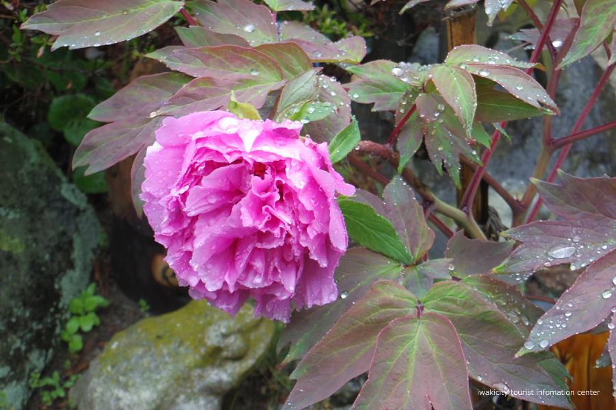 《いわき市桜情報》四倉諏訪神社のボタンザクラとチョウセンボタンが開花しました! [平成30年4月18日(水)更新]7