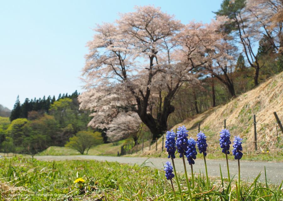 《いわき市桜情報》新田の大山桜が満開です!! [平成30年4月22日(日)更新]7