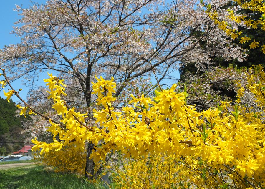 《いわき市桜情報》三阪川のソメイヨシノ [平成30年4月22日(日)更新]7