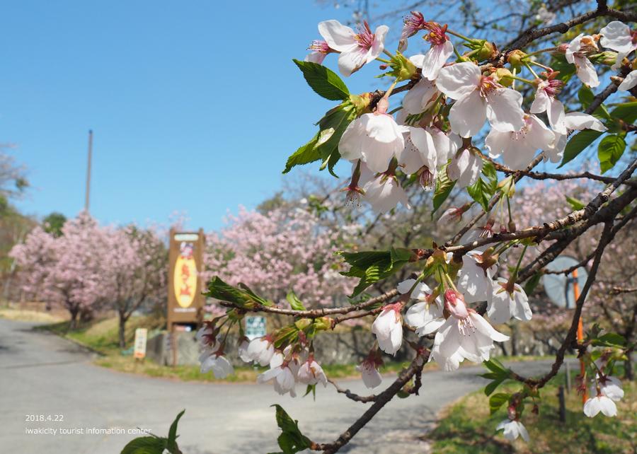 《いわき市桜情報》いわきの里鬼ヶ城の桜 [平成30年4月22日(日)更新]7