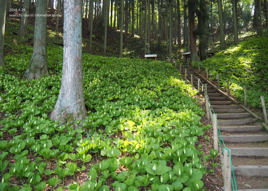 田人町綱木地区のクマガイソウが開花しました! [平成30年4月29日(日)更新]8