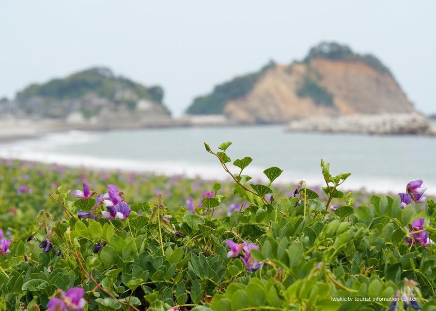 《いわき市花情報》久之浜海岸でハマエンドウ・ハマヒルガオが開花しました♪ [平成30年5月9日(水)更新]4