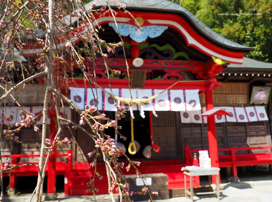 《いわき市桜情報》小川諏訪神社のシダレザクラ 開花しました! [平成30年3月28日(水)更新]8