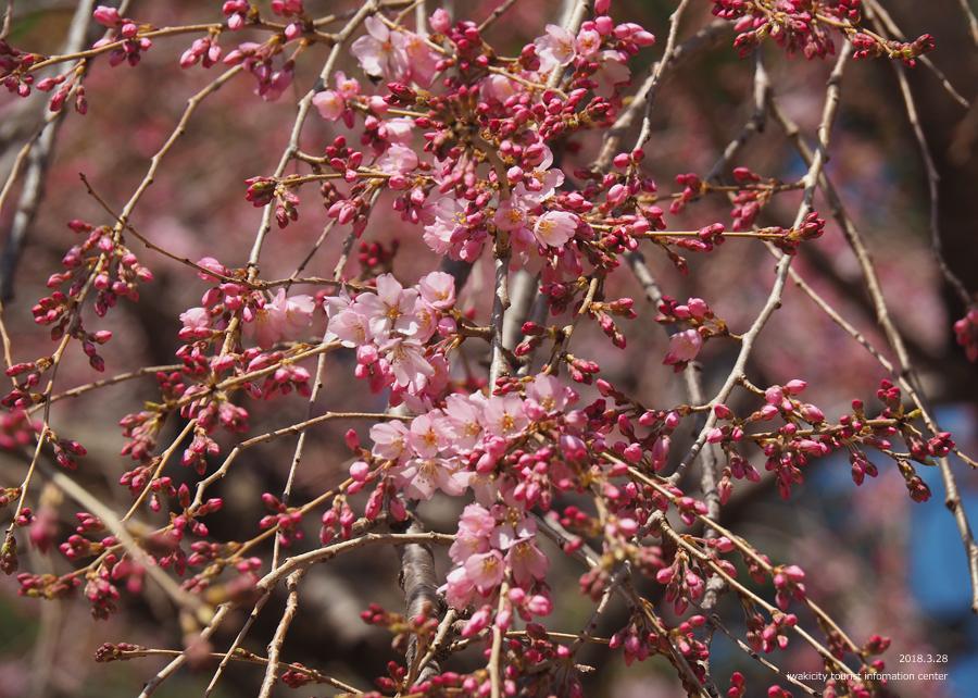《いわき市桜情報》三島八幡神社のシダレザクラ 咲き始めています! [平成30年3月28日(水)更新]9