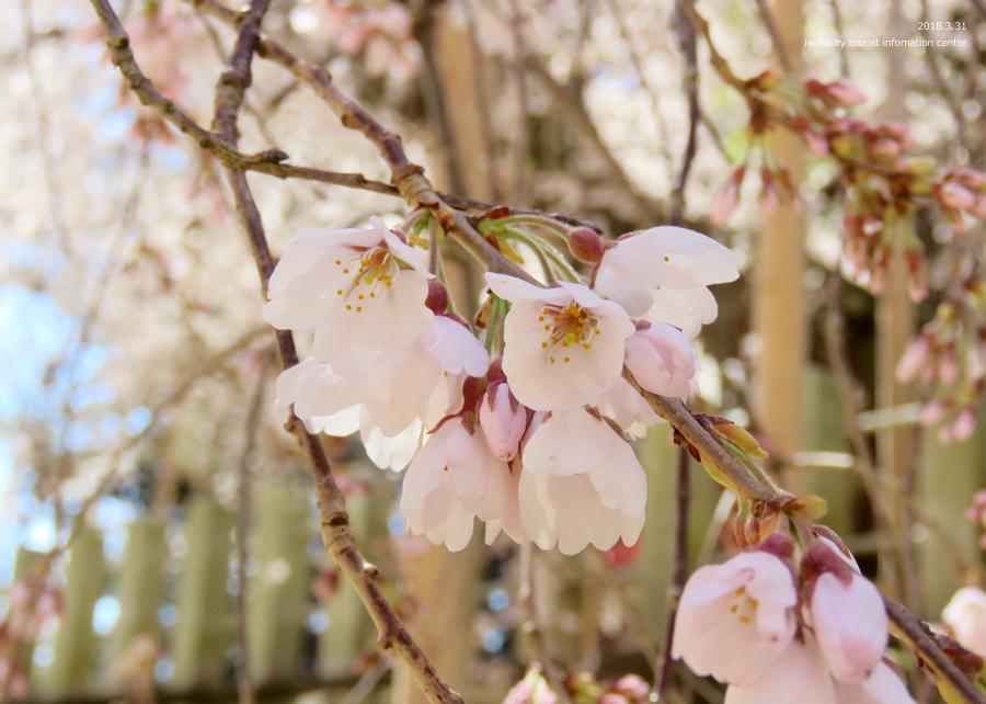 《いわき市桜情報》小川諏訪神社のシダレザクラ 見頃です♪ [平成30年3月31日(土)更新]8
