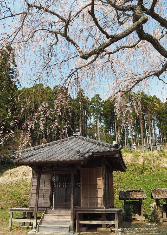 《いわき市桜情報》住善寺のシダレザクラが満開です! [平成30年4月2日(月)更新]8