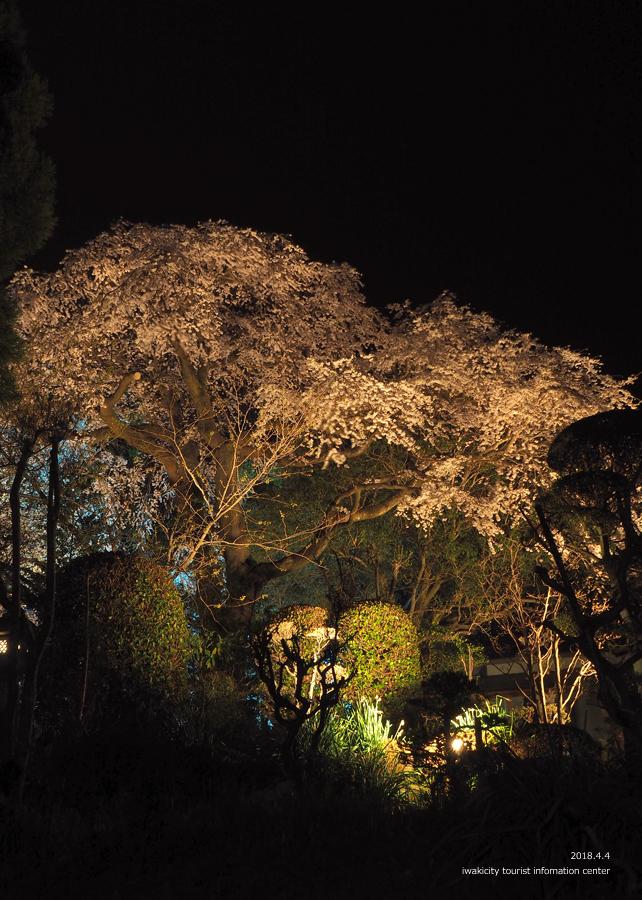 《いわき市桜情報》三島八幡神社のシダレザクラ ライトアップ開催中! [平成30年4月4日(水)更新]8