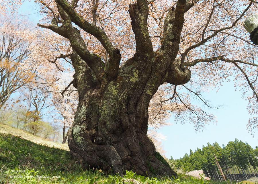《いわき市桜情報》新田の大山桜が満開です!! [平成30年4月22日(日)更新]8