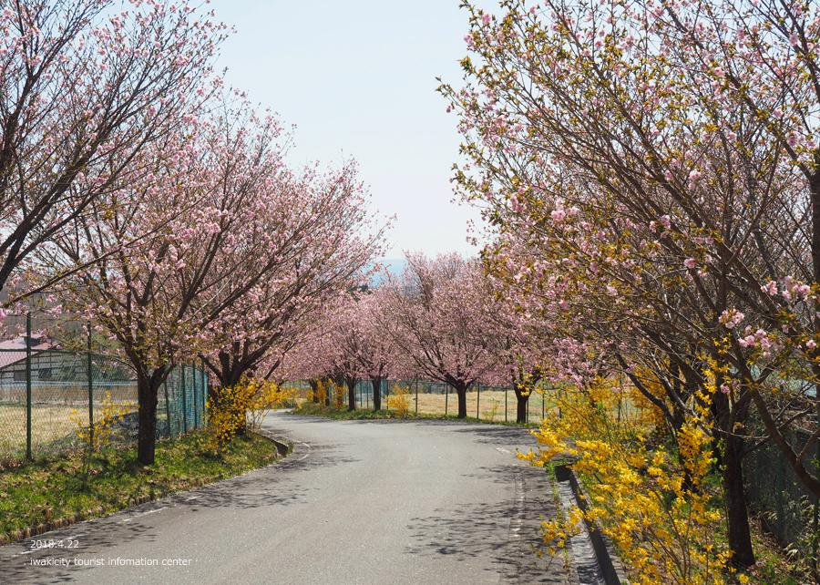 《いわき市桜情報》いわきの里鬼ヶ城の桜 [平成30年4月22日(日)更新]8
