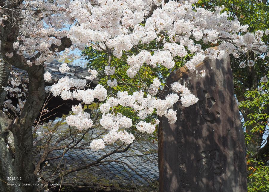 《いわき市桜情報》勝行院のシダレザクラ [平成30年4月2日(月)更新] 8