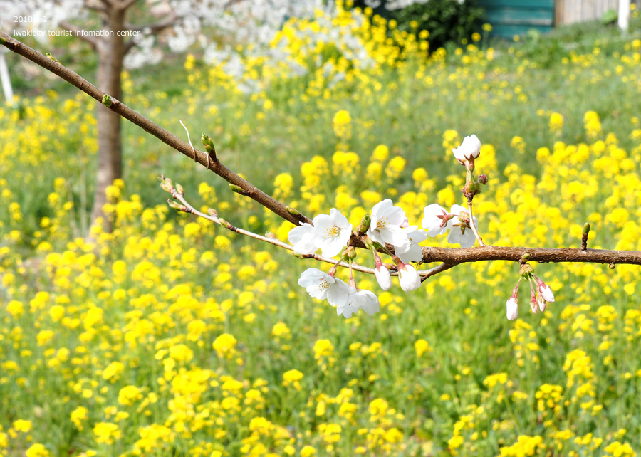 《いわき市桜情報》いわき回廊美術館の桜と菜の花 [平成30年4月2日(月)更新] 8