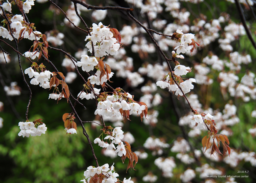《いわき市桜情報》田人の石割桜がほぼ見頃です!! [平成30年4月8日(日)更新]8