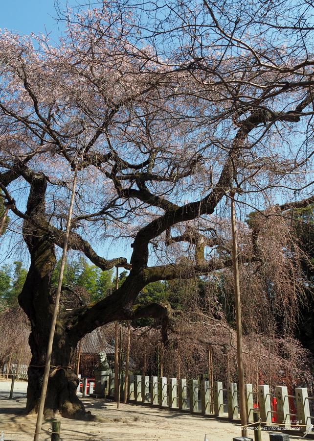 《いわき市桜情報》小川諏訪神社のシダレザクラ 開花しました! [平成30年3月28日(水)更新]9