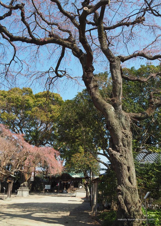 《いわき市桜情報》三島八幡神社のシダレザクラ 咲き始めています! [平成30年3月28日(水)更新]10