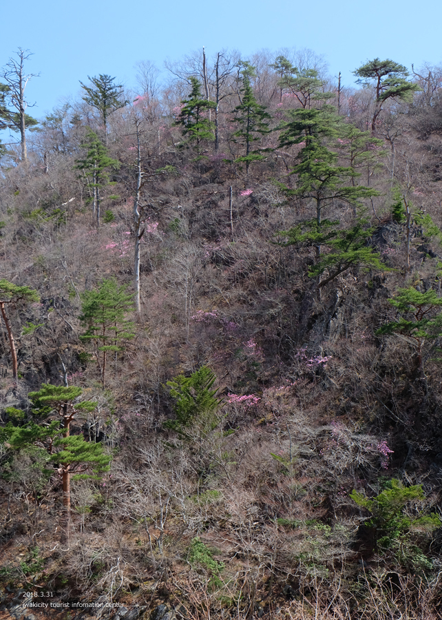 夏井川渓谷 アカヤシオが開花しました! [平成30年3月31日(土)更新]9
