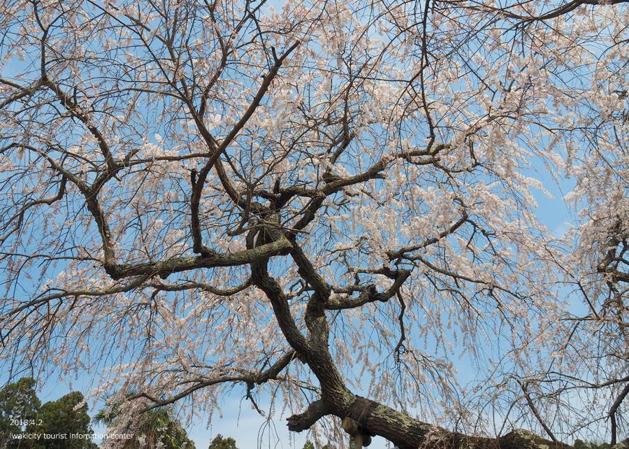 《いわき市桜情報》住善寺のシダレザクラが満開です! [平成30年4月2日(月)更新]9