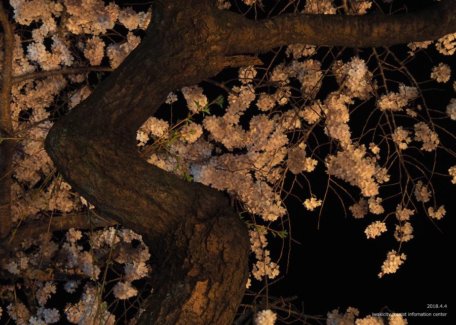 《いわき市桜情報》三島八幡神社のシダレザクラ ライトアップ開催中! [平成30年4月4日(水)更新]9