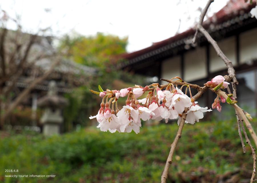 《いわき市桜情報》観音寺のシダレザクラ [平成30年4月8日(日)更新]9