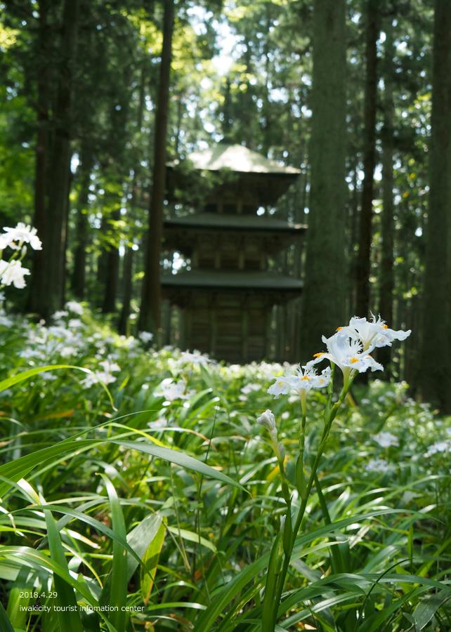 高蔵寺のシャガが見頃です! [平成30年4月30日(月・祝)更新]7