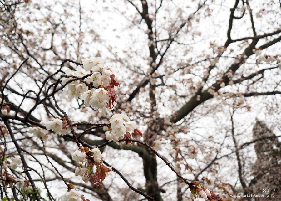 《いわき市桜情報》田人の石割桜がほぼ見頃です!! [平成30年4月8日(日)更新]9