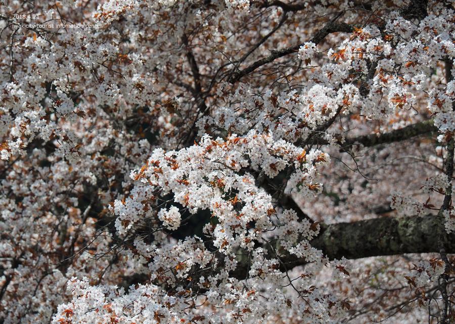 《いわき市桜情報》新田の大山桜が満開です!! [平成30年4月22日(日)更新]9