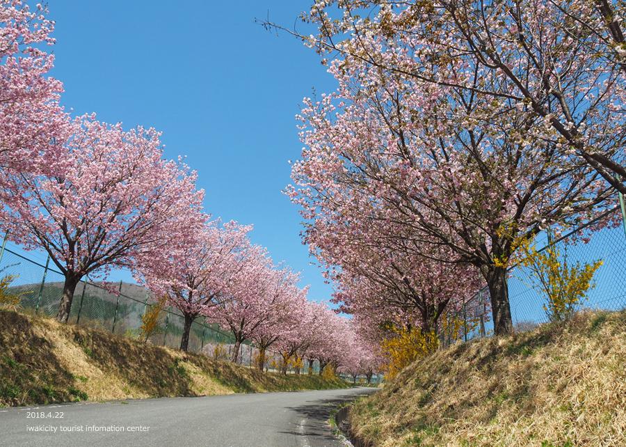 《いわき市桜情報》いわきの里鬼ヶ城の桜 [平成30年4月22日(日)更新]9