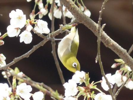 うば桜 & メジロ 5
