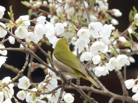 うば桜 & メジロ 6