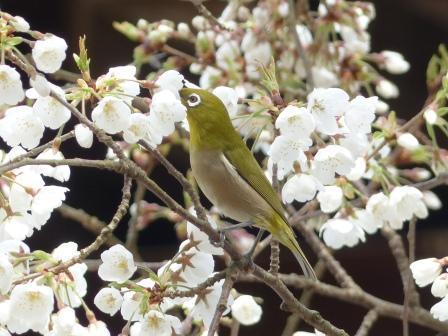 うば桜 & メジロ 7