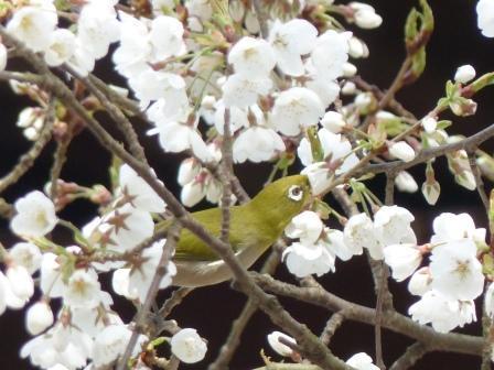 うば桜 & メジロ 8