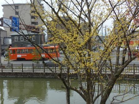 サンシュユ & 市内電車