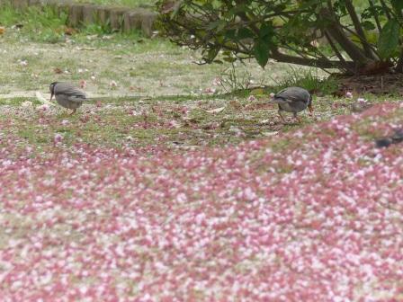 散った椿寒桜 & ムクドリ