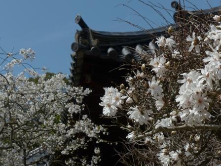 うば桜 & シデコブシ