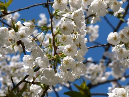 大宝寺 の うば桜 2