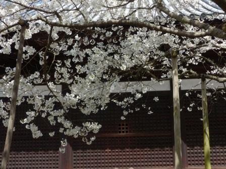 大宝寺 の うば桜 3